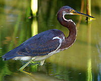 Tricolored heron in non-breeding plumage wading