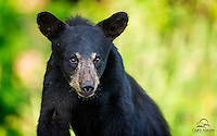 Shy Black Bear (Ursus americanus) cub, probably on its own for the first time.  Northern Minnesota.