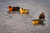 Two pairs of Cinnamon Teals, males and females, exploring San Leandro Bay at the Martin Luther King Jr. Regional Shoreline, Oakland, California.