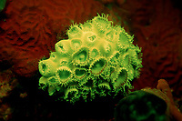 Fluorescent Coral zoanthid, Palythoa tuberculosa, Indonesia, Indian Ocean, Komodo National Park