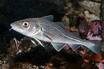 Atlantic cod swimming left