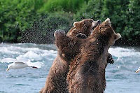 Two brown bears fight for dominance at the McNeil River falls, in Alaska's McNeil River State Game Sanctuary.