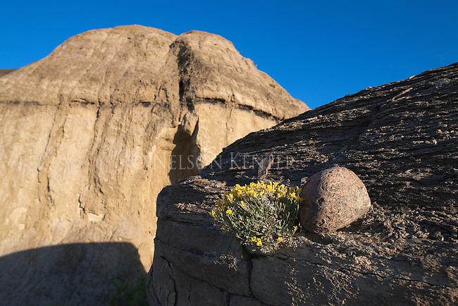 Wildflowers growing on a rocky ridge in eastern Montana