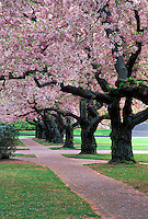 Brick trail through grove of blossoming cherry trees, University of Washington, Seattle, Washington