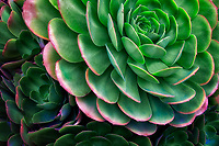 Close up of Aeonium urbicum. Mailbu, California