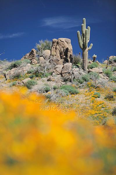 Desert in bloom with Mexican Gold Poppy (Eschscholzia californica mexicana), Desert Lupine (Lupinus sparsiflorus), Saguaro Cactus (Carnegiea gigantea), Tonto National Forest, Bartlett Lake , Arizona, USA