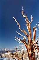 Bristlecone pine, Inyo National Forest, White Mountains, California, USA