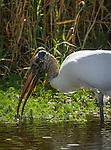 Wood Stork foraging in the Myakka River, Florida
