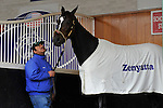 4 October 2010:  Zenyatta schools in the paddock during the fourth race Thursday at Churchill Downs in Louisville, KY.
