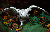 Snowy Owl running through fall leaves