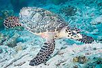 Bonaire, Netherlands Antilles; a Hawksbill Turtle (Eretmochelys imbricata) feeds on coral rubble on the sea floor , Copyright © Matthew Meier, matthewmeierphoto.com All Rights Reserved