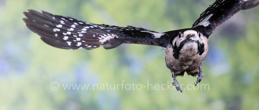 Buntspecht, Flug, Flugbild, fliegend, Bunt-Specht, Specht, Spechte, Dendrocopos major, Picoides major, Great spotted woodpecker, woodpecker, woodpeckers, flight, flying, Pic épeiche
