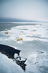 A group of polar bears at the edge of an ice field at Hudson Bay, Churchill, Manitoba, Canada.
