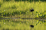 Damon, Texas; a little blue heron taking flight with a red crawfish in its beak reflects in the surface of the slough in late afternoon sunlight