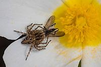 Luchsspinne, Luchs-Spinne, Weibchen hat eine Fliege erbeutet, Beute, Oxyopes cf. heterophthalmus, Lynx Spider, female, Luchsspinnen, Oxyopidae, Scharfaugenspinnen, Lynx spiders, Kroatien, Croatia