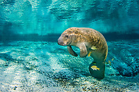 Florida Manatee, Trichechus manatus latirostris, A subspecies of the West Indian Manatee. A manatee gets cleaned by Bluegill, Lepomis macrochirus mystacalis, while in Three Sisters Springs. Crystal River, Florida.