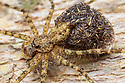 Longlegged Water Spider (Trechaleidae) carrying spiderlings. Lowland rainforest, Manu Biosphere Reserve, Amazonia, Peru. November.
