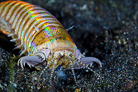 Polychaetes (Bristle Worms)