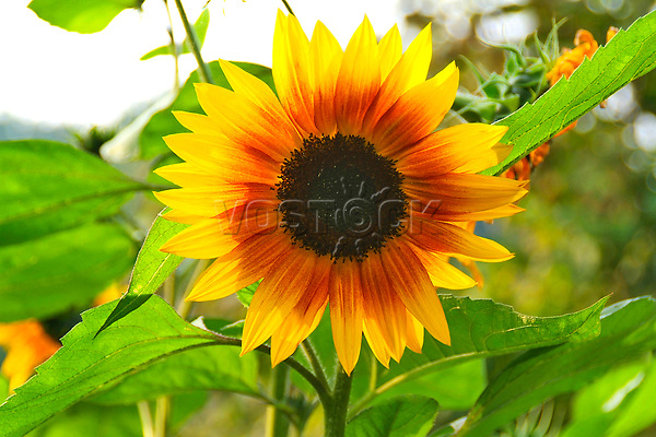 flowering sunflower helianthus annus