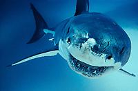 great white shark, Carcharodon carcharias, Australia, Pacific Ocean