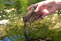 Nelkenwurz-Wurzel, Nelkenwurz-Wurzeln, werden im Wasser ausgespült, gewaschen, Ernte, Kräuter  sammeln, Wurzel, Wurzel, Wurzeln von Echter Nelkenwurz, Echte Nelkenwurz, Gemeine Nelkenwurz, Geum urbanum, wood avens, herb Bennet, colewort, St. Benedict's herb, root, roots, La benoîte commune, benoite commune