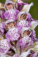 Milchweißes Knabenkraut, Orchis lactea, Neotinea lactea, Orchis tridentata ssp. lactea, Milky Orchid, L'Orchis lacté, Orchis couleur de lait