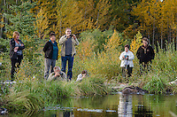 People watching and photographing beaver repair its dam.  Foothills of Northern Rockies.  Fall