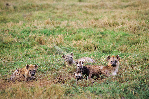 Spotted Hyena den (Crocuta crocuta) Serengeti National Park, Tanzania.  Den is hole in ground just to the left of the front young one.