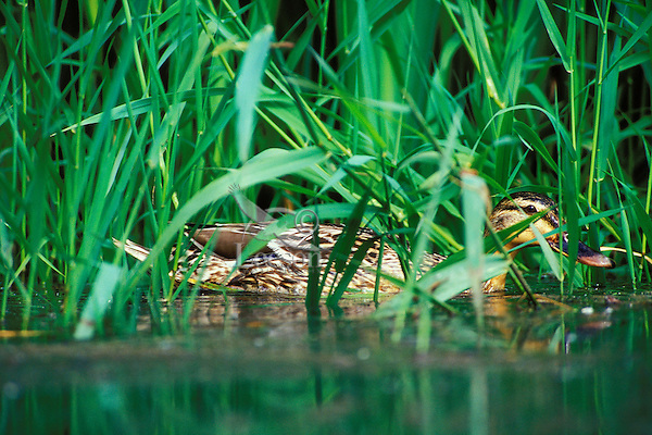 Mallard Duck hen (Anas platyrhynchos) hiding in grass.
