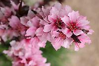 Ornamental Peach Tree blossoms in spring.