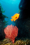 San Clemente Island, California; Girabaldi (Hypsypops rubicundus) and Red Gorgonian (Lophogorgia chilensis) , Copyright © Matthew Meier, matthewmeierphoto.com All Rights Reserved