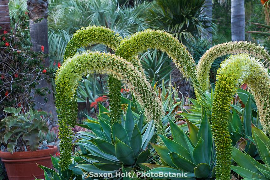 Agave attenuata (Fox Tail Agave), flowering succulent, Leaning Pine Arboretum, California garden