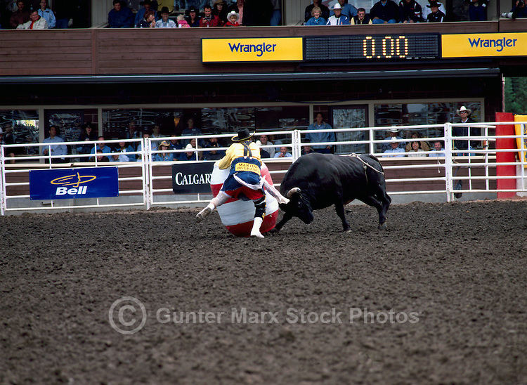 Angry Bull attacking Barrel and Rodeo Clown at Calgary Stampede, Calgary, Alberta, Canada - Editorial Use Only