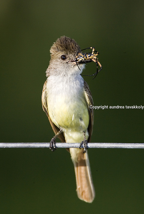 Brown crested flycatcher sitting on a wire bringing a spider back to the nest.