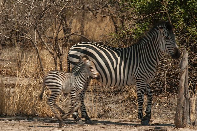Common Zebra with Foal