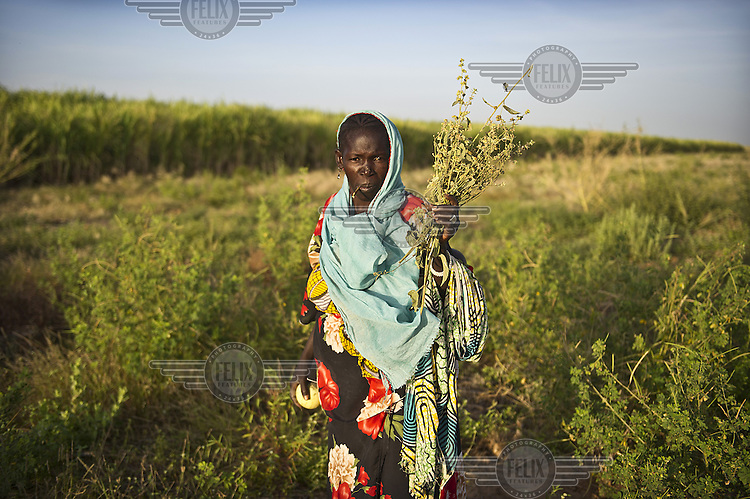Korotimi Donigo collecting animal feed on her ancestral lands that lie next to a sugarcane plantation owned by Sosumar, a South African company producing sugar and ethanol. Many such lands between Markala and Niono are gradually being taken over by foreign investment companies whose deals with the Malian government are often unclear and don't make implicit how much water can be used and if the final product will be exported or sold locally...