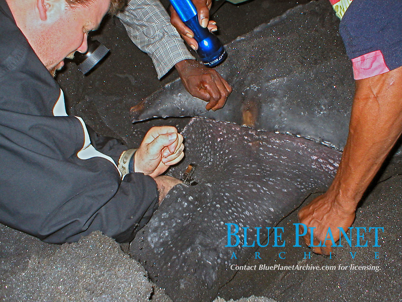 leatherback sea turtle, Dermochelys coriacea, being tagged by scientist, Dominica, Caribbean, Atlantic