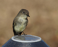 The Eastern Phoebe is a loner, rarely coming in contact with other phoebes. Even members of a mated pair do not spend much time together.