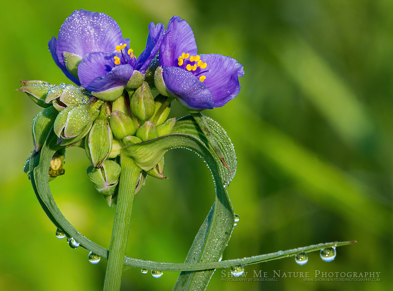Spiderwort with dew