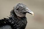 American Black Vulture (Coragyps atratus), Tortuguero National Park, Costa Rica