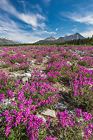 Wild sweet pea blossoms in the miller creek bed in the Alaska Range mountains, Alaska.