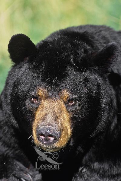 Adult male black bear (Ursus americanus), North America.