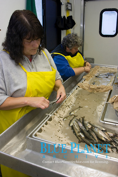Fish Hatchery workers clip the adipose fins of juvenile Chinook Salmon (Oncorhyncus tshawytscha) as a means differenciatiing wild salmon from hatchery raised salmon. Photo taken in Washington state. (do)