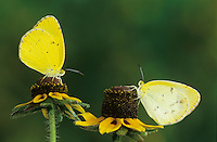 Little Yellow, Eurema lisa, male and female on Clasping-leaved Coneflower(Dracopis amplexicaulis) , Willacy County, Rio Grande Valley, Texas, USA