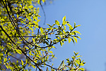 Green leafs against blue sky on a sunny spring day