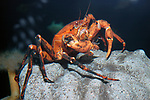 deep sea red crab perched on large deep water boulder