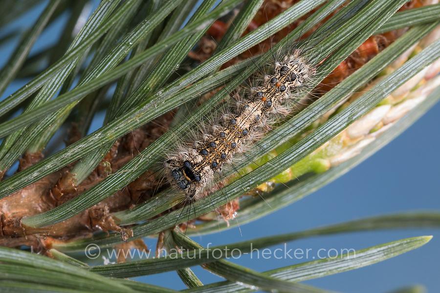 Nonne, Nonnenspinner, Raupe frisst an Kiefer, Lymantria monacha, black arches, nun moth, caterpillar, la Nonne, Noctuidae, Eulenfalter, Lymantriinae, Trägspinner, Schadspinner
