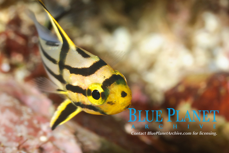 juvenile Pacific Ocean highhat, Pareques sp., Sea of Cortez, Mexico, Pacific Ocean