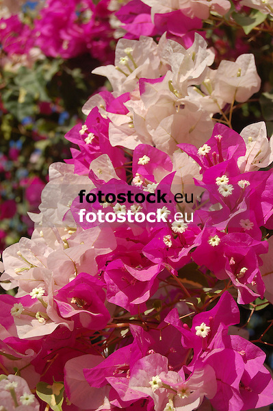 pink and white Bougainvillea blossoms<br /> <br /> flores de Bougainvillea rosas y blancos <br /> <br /> rosa und weiße Bougainvillea-Blüten<br /> <br /> 3008 x 2000 px