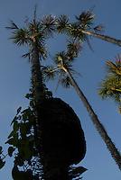 Árvore do Buriti.<br /> Salvaterra, Marajó, Pará, Brasil<br /> Foto Paulo Santos<br /> 01/11/2008